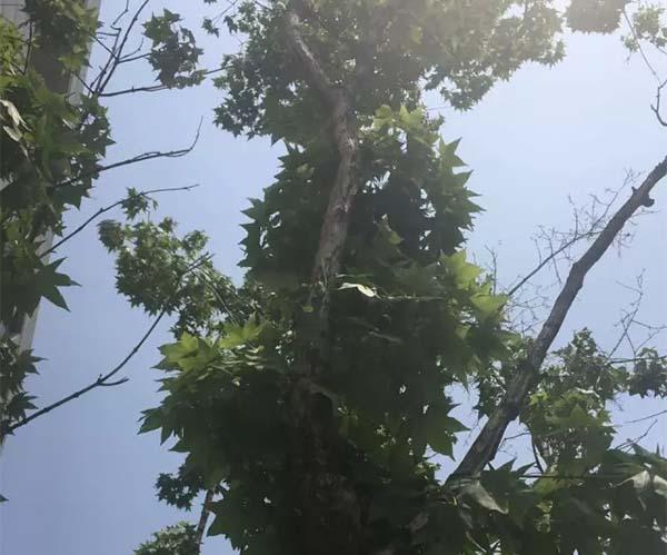 技术在线:正确认识树木枯萎病