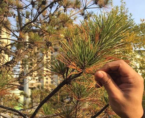 秋后急诊——松树的病和虫-园林养护,根部施药,松针枯