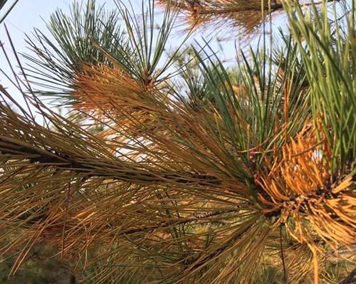 秋后急诊——松树的病和虫